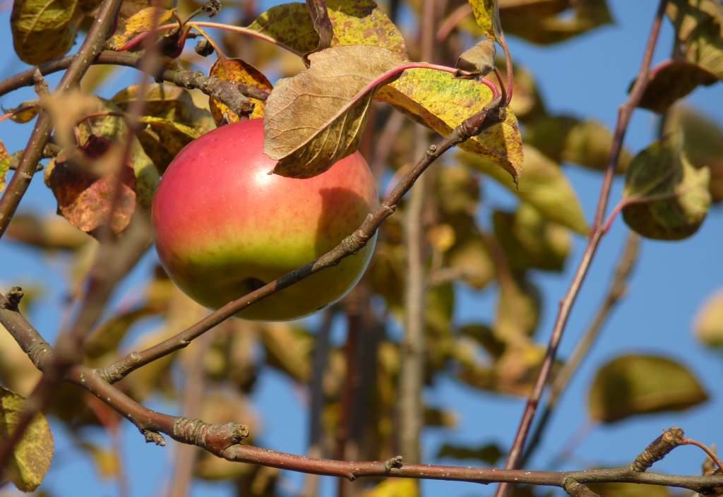 Jablko v domácí zahradě